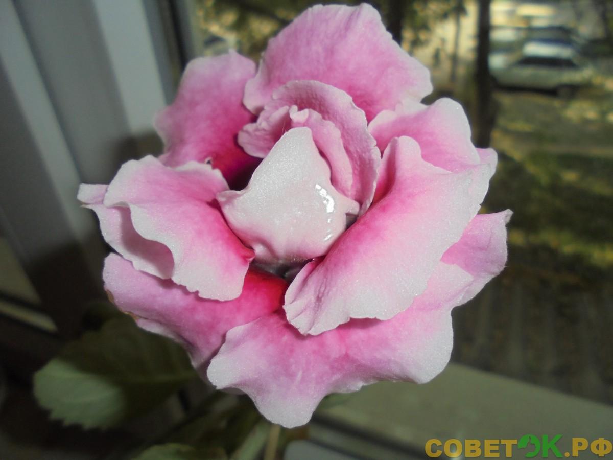 Выращивание глоксинии Pink Pleasure