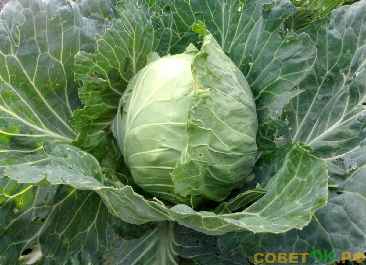 Белокочанная капуста: правила посева и выращивания