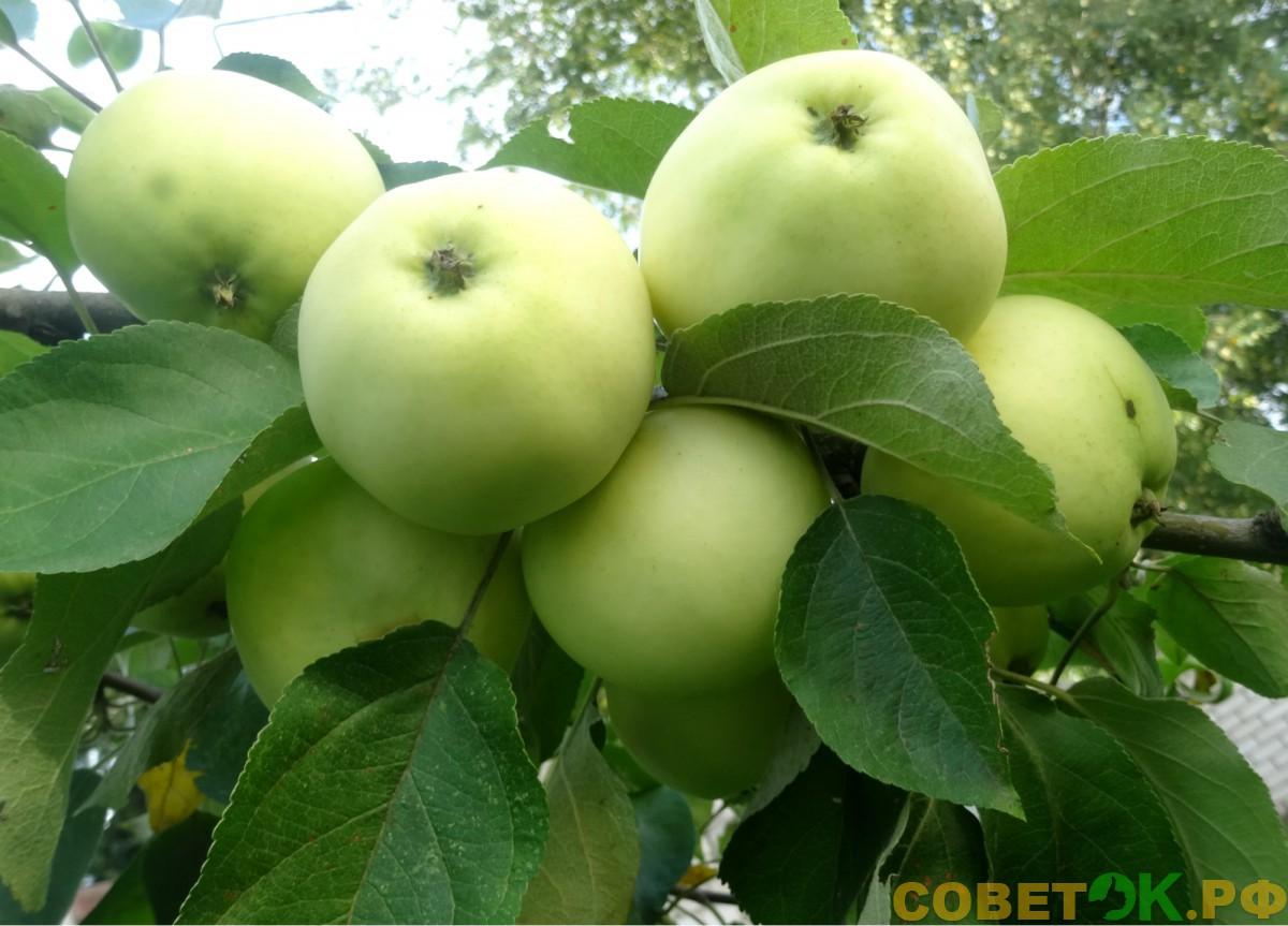 Яблоня: как получить урожай мечты