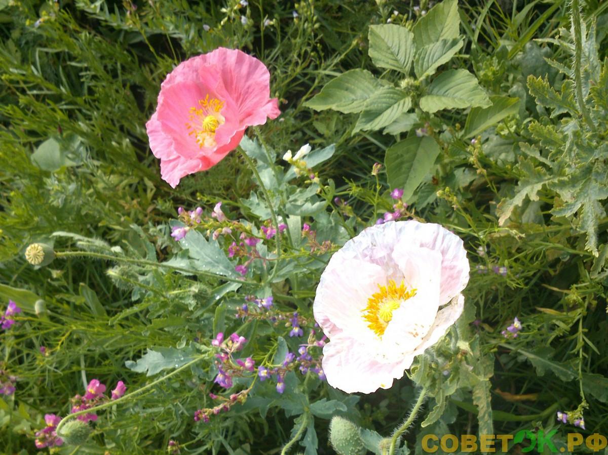 Мак самосейка: полевой цветок в ландшафте сада