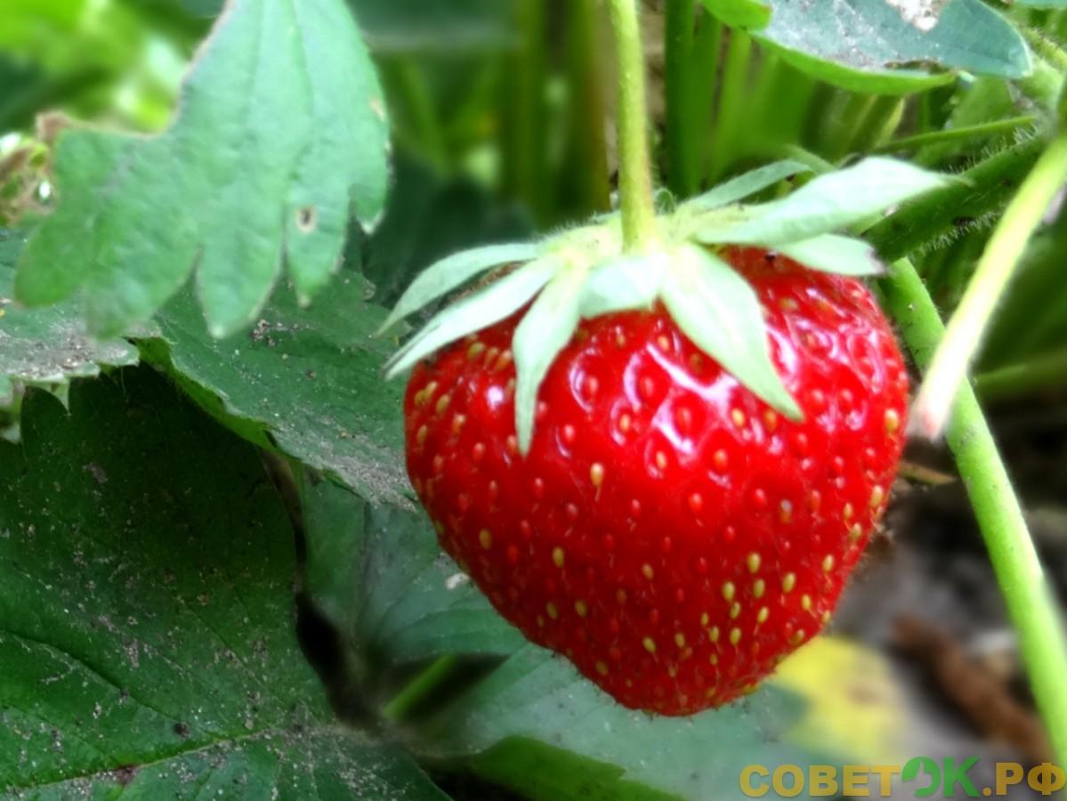 Клубника: ягодка к ягодке