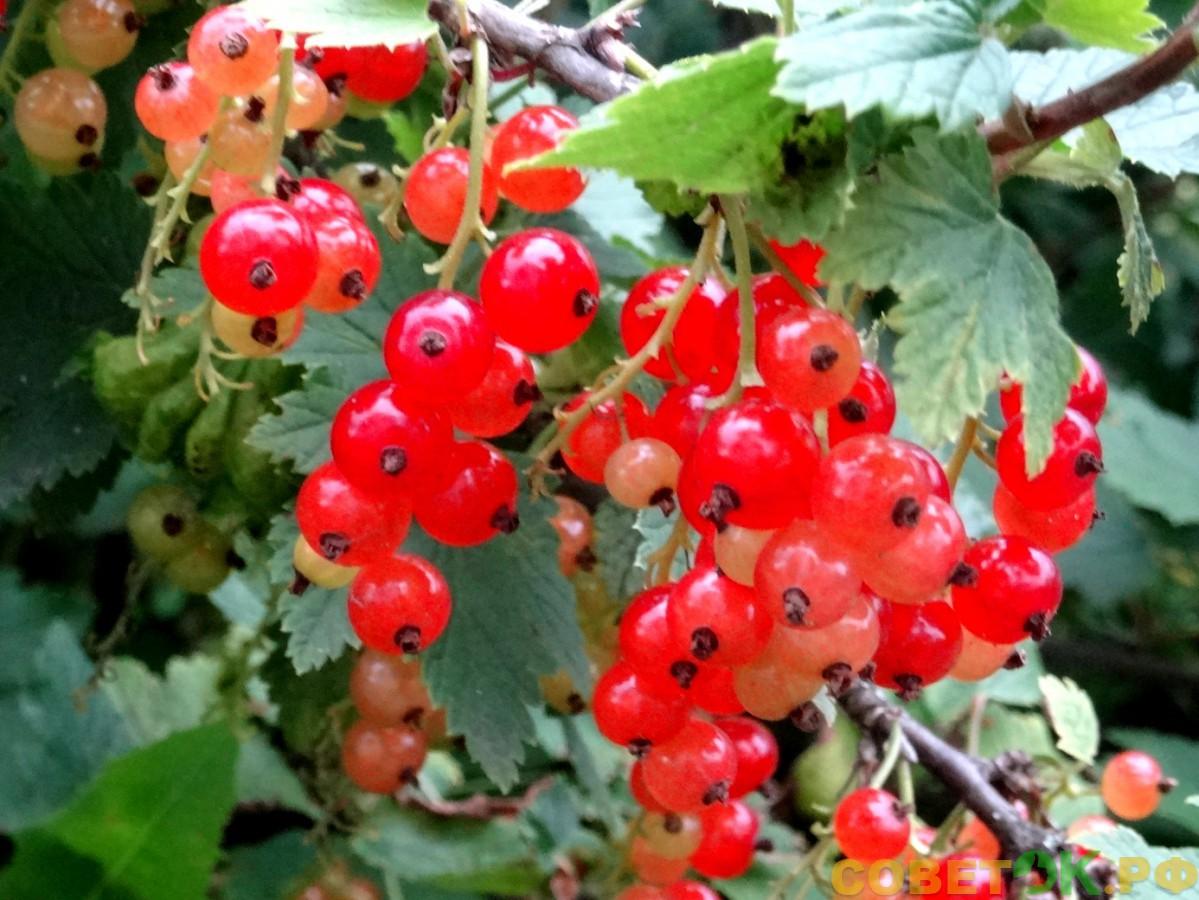 Смородина: ягодное изобилие
