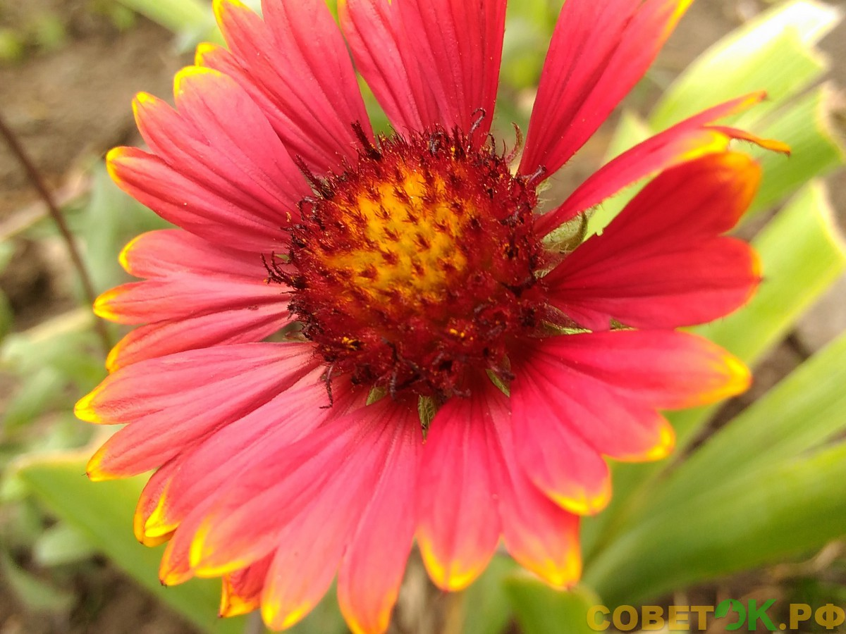 Гайлардия: яркая красавица с мягким характером
