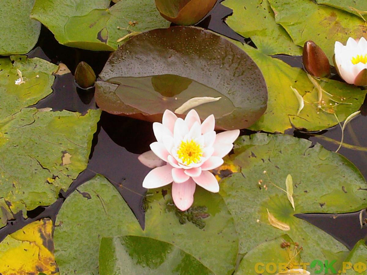 Выращивание кувшинок (водяных лилий) в искусственных водоемах