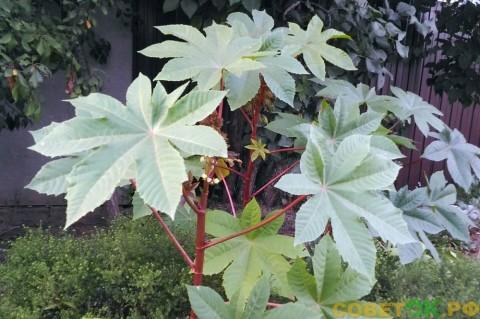 Клещевина - «райское дерево»