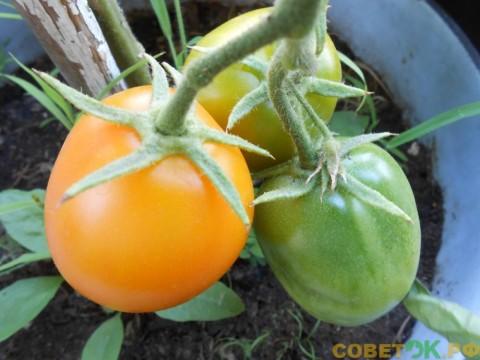 Помидоры: универсальное органоминеральное удобрения для подкормки томатов
