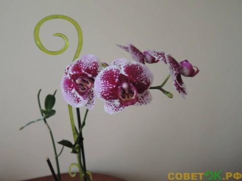 Как размножить орхидею в домашних условиях
