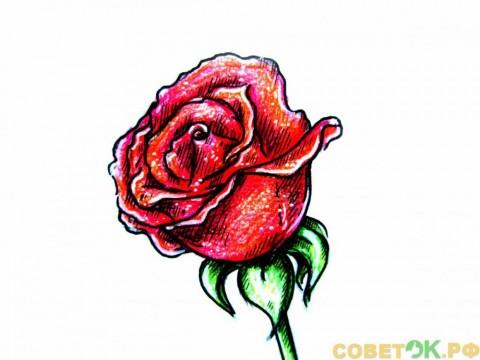 Как поэтапно нарисовать розу цветным карандашом