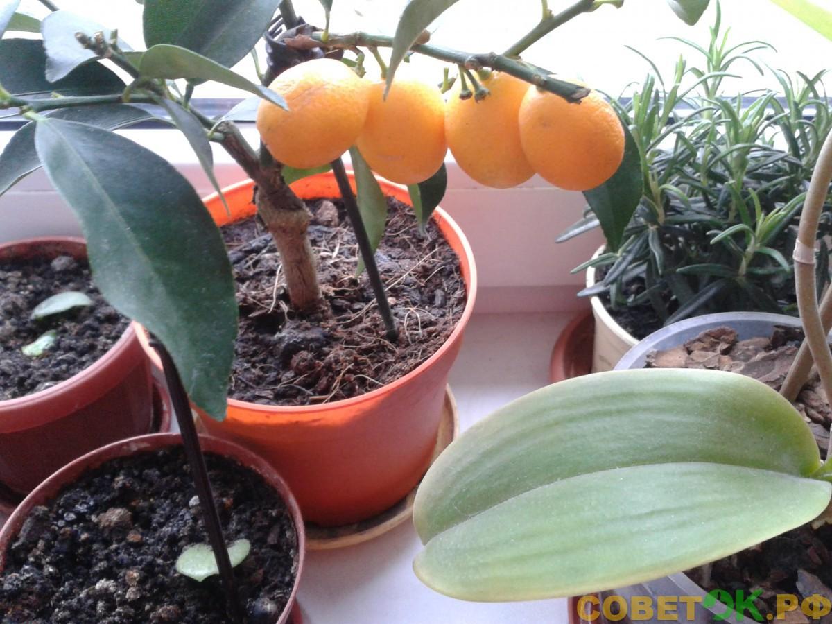 Кумкват: выращивание для домашней оранжереи